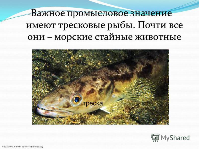 Важное промысловое значение имеют тресковые рыбы. Почти все они – морские стайные животные http://www.marinbi.com/m-merluccius.jpg треска