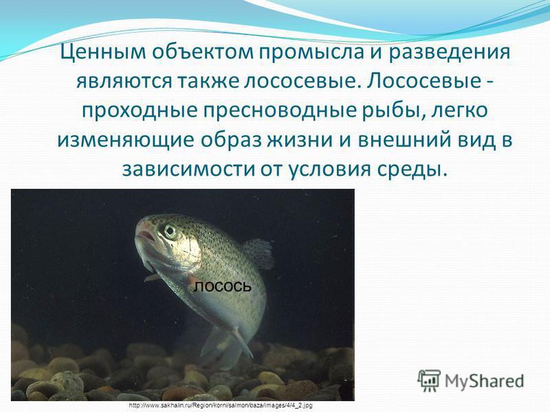 Ценным объектом промысла и разведения являются также лососевые. Лососевые - проходные пресноводные рыбы, легко изменяющие образ жизни и внешний вид в зависимости от условия среды. http://www.sakhalin.ru/Region/korni/salmon/baza/images/4/4_2. jpg лосо