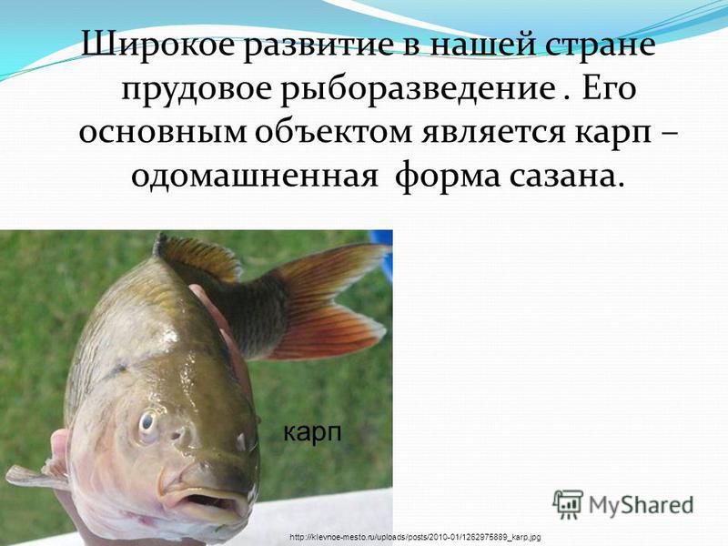 Широкое развитие в нашей стране прудовое рыборазведение. Его основным объектом является карп – одомашненная форма сазана. http://klevnoe-mesto.ru/uploads/posts/2010-01/1262975889_karp.jpg карп