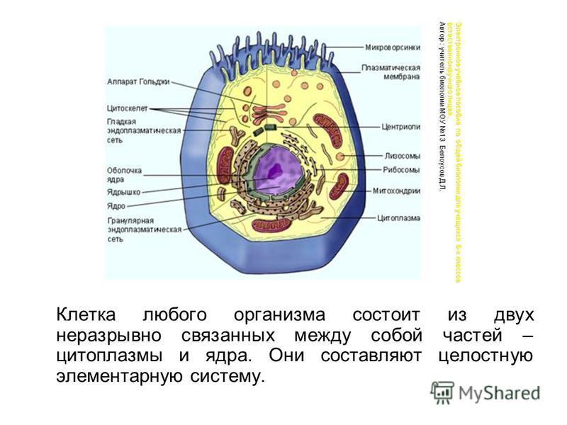 Клетка любого организма состоит из двух неразрывно связанных между собой частей – цитоплазмы и ядра. Они составляют целостную элементарную систему. Электронное учебное пособие по общей биологии для учащихся 6-х классов естественнонаучного лицея. Авто