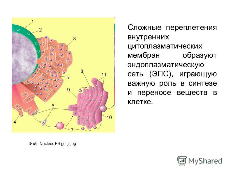 Сложные переплетения внутренних цитоплазматических мембран образуют эндоплазматическую сеть (ЭПС), играющую важную роль в синтезе и переносе веществ в клетке. Файл:Nucleus ER golgi.jpg