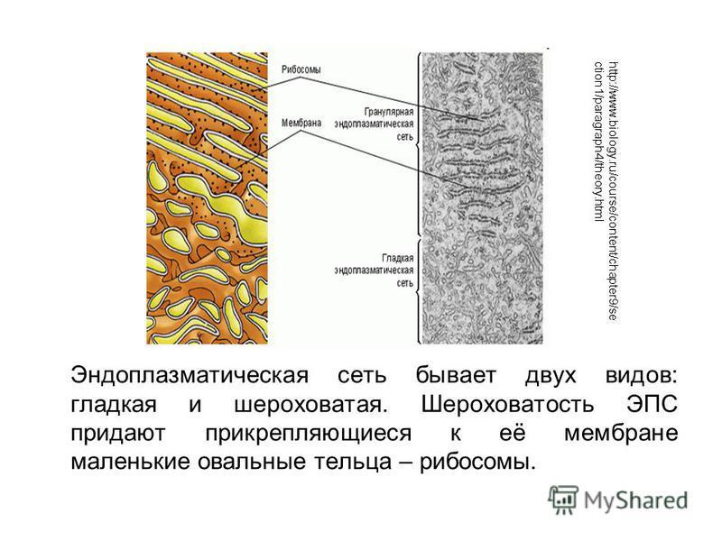Эндоплазматическая сеть бывает двух видов: гладкая и шероховатая. Шероховатость ЭПС придают прикрепляющиеся к её мембране маленькие овальные тельца – рибосомы. http://www.biology.ru/course/content/chapter9/se ction1/paragraph4/theory.html