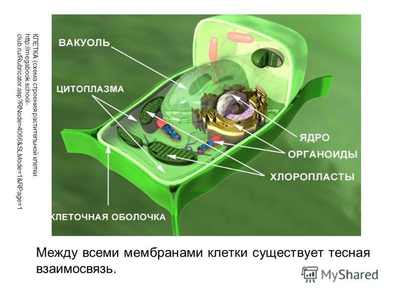 Между всеми мембранами клетки существует тесная взаимосвязь. КЛЕТКА (схема строения растительной клетки. http://megabook.school- club.ru/Rubricator.asp?RNode=4066&SLMode=1&RPage=1