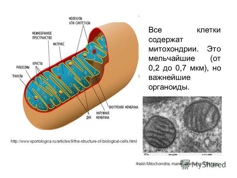 Все клетки содержат митохондрии. Это мельчайшие (от 0,2 до 0,7 мкм), но важнейшие органоиды. http://www.sportologica.ru/articles/9/the-structure-of-biological-cells.html Файл:Mitochondria, mammalian lung - TEM.jpg