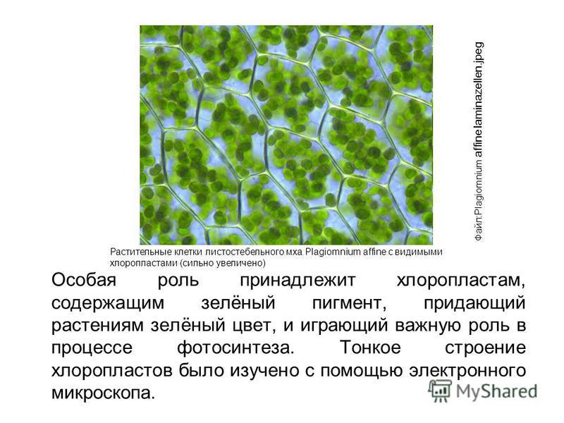 Особая роль принадлежит хлоропластам, содержащим зелёный пигмент, придающий растениям зелёный цвет, и играющий важную роль в процессе фотосинтеза. Тонкое строение хлоропластов было изучено с помощью электронного микроскопа. Файл:Plagiomnium affine la