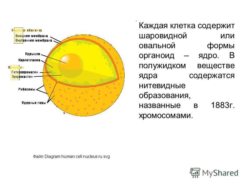 Каждая клетка содержит шаровидной или овальной формы органоид – ядро. В полужидком веществе ядра содержатся нитевидные образования, названные в 1883 г. хромосомами. Файл:Diagram human cell nucleus ru.svg