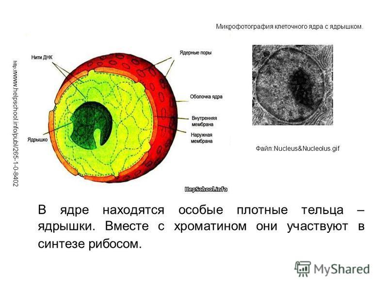 В ядре находятся особые плотные тельца – ядрышки. Вместе с хроматином они участвуют в синтезе рибосом. http:// www.helpschool.info/publ/265-1-0-8402 Файл:Nucleus&Nucleolus.gif Микрофотография клеточного ядра с ядрышком.