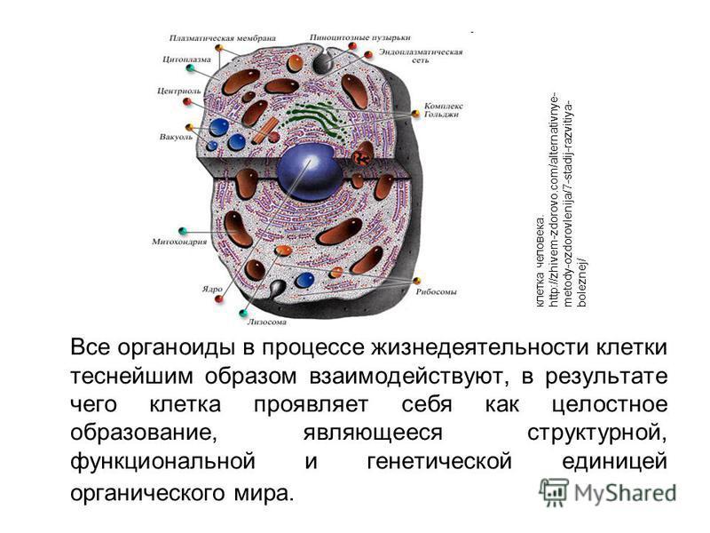 Все органоиды в процессе жизнедеятельности клетки теснейшим образом взаимодействуют, в результате чего клетка проявляет себя как целостное образование, являющееся структурной, функциональной и генетической единицей органического мира. клетка человека