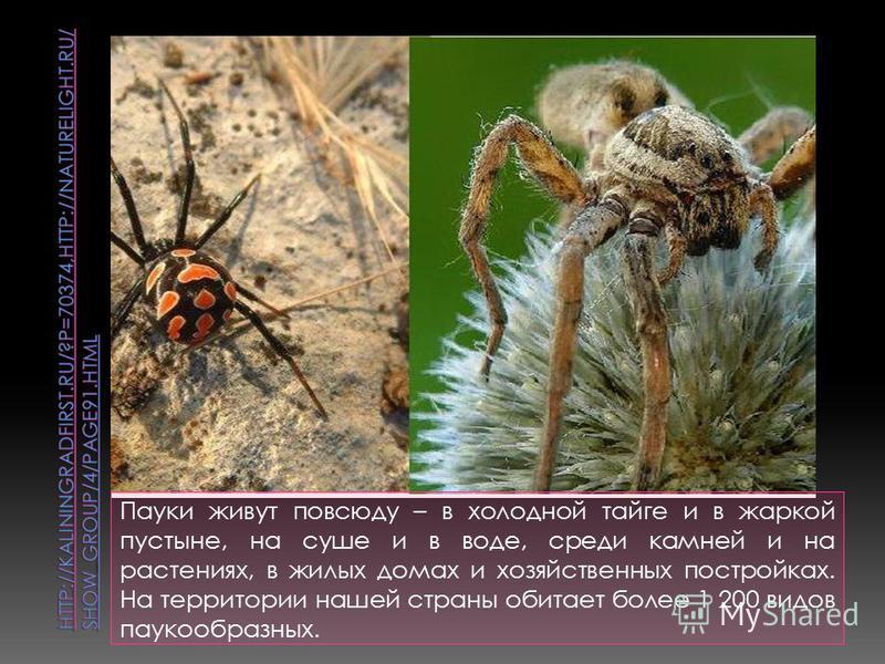 Пауки живут повсюду – в холодной тайге и в жаркой пустыне, на суше и в воде, среди камней и на растениях, в жилых домах и хозяйственных постройках. На территории нашей страны обитает более 1 200 видов паукообразных.
