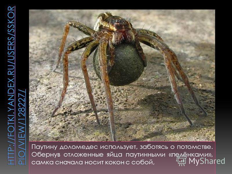 Паутину доломедес использует, заботясь о потомстве. Обернув отложенные яйца паутинными «пелёнками», самка сначала носит кокон с собой,