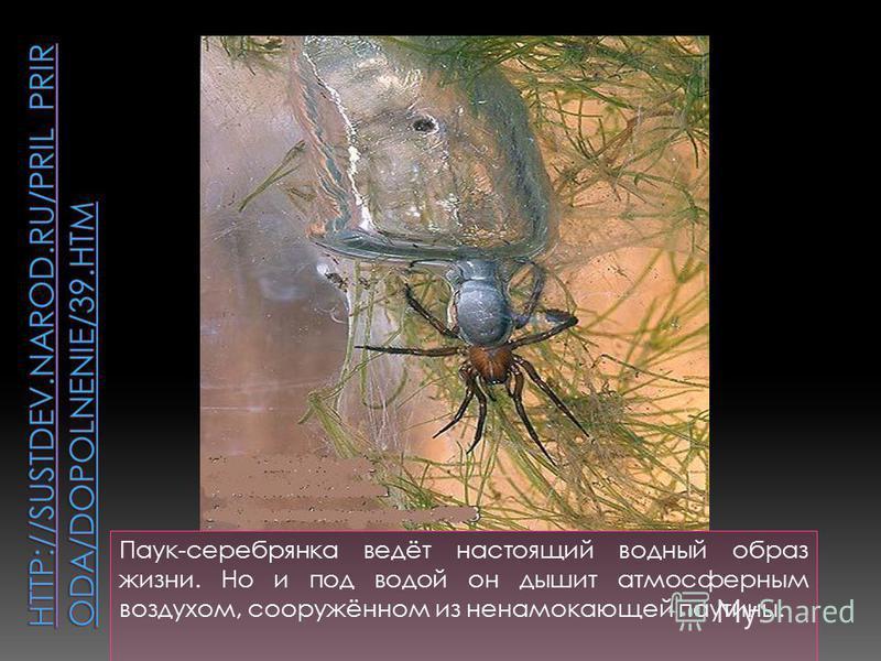 Паук-серебрянка ведёт настоящий водный образ жизни. Но и под водой он дышит атмосферным воздухом, сооружённом из ненамокающей паутины.