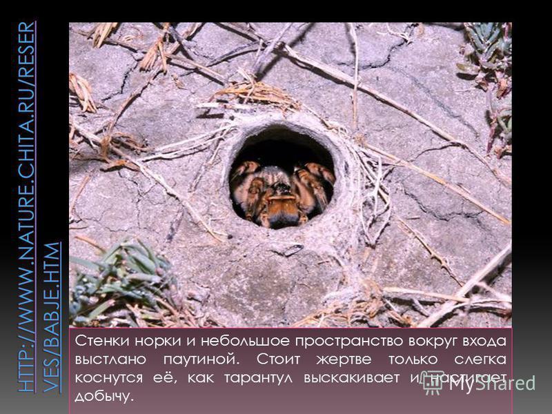 Стенки норки и небольшое пространство вокруг входа выстлано паутиной. Стоит жертве только слегка коснутся её, как тарантул выскакивает и настигает добычу.