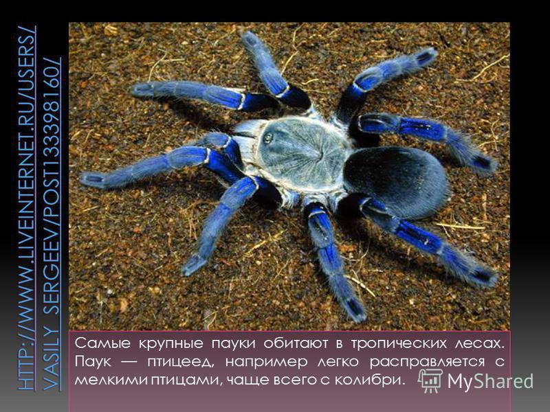 Самые крупные пауки обитают в тропических лесах. Паук птицеед, например легко расправляется с мелкими птицами, чаще всего с колибри.