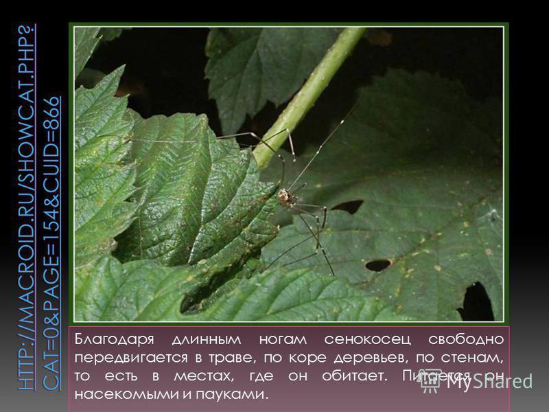 Благодаря длинным ногам сенокосец свободно передвигается в траве, по коре деревьев, по стенам, то есть в местах, где он обитает. Питается он насекомыми и пауками.