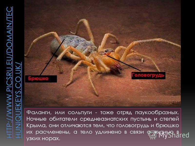 Фаланги, или сольпуги - тоже отряд паукообразных. Ночные обитатели среднеазиатских пустынь и степей Крыма, они отличаются тем, что головогрудь и брюшко их расчленены, а тело удлинено в связи с жизнью в узких норах.