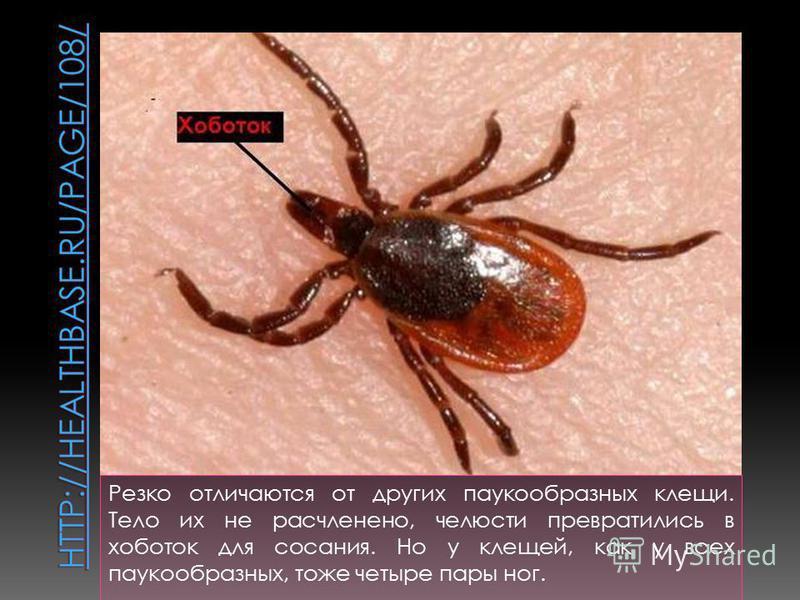 Резко отличаются от других паукообразных клещи. Тело их не расчленено, челюсти превратились в хоботок для сосания. Но у клещей, как у всех паукообразных, тоже четыре пары ног.