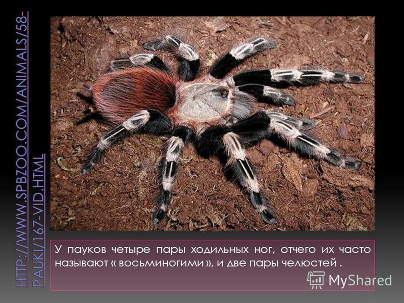 У пауков четыре пары ходильных ног, отчего их часто называют « восьминогими », и две пары челюстей.