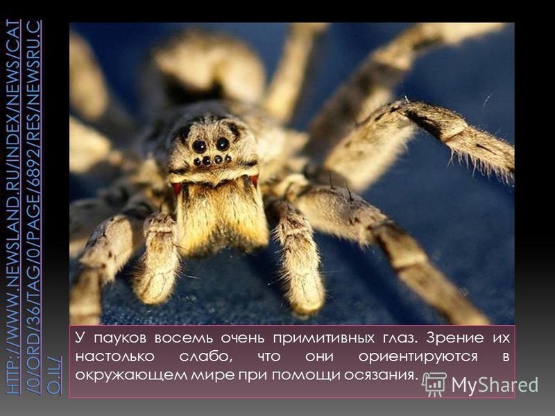 У пауков восемь очень примитивных глаз. Зрение их настолько слабо, что они ориентируются в окружающем мире при помощи осязания.