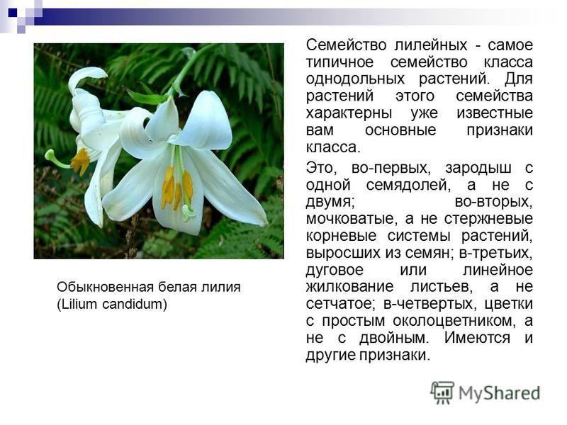 Семейство лилейных - самое типичное семейство класса однодольных растений. Для растений этого семейства характерны уже известные вам основные признаки класса. Это, во-первых, зародыш с одной семядолей, а не с двумя; во-вторых, мочковатые, а не стержн