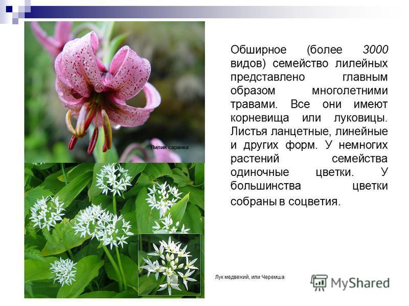 Обширное (более 3000 видов) семейство лилейных представлено главным образом многолетними травами. Все они имеют корневища или луковицы. Листья ланцетные, линейные и других форм. У немногих растений семейства одиночные цветки. У большинства цветки соб
