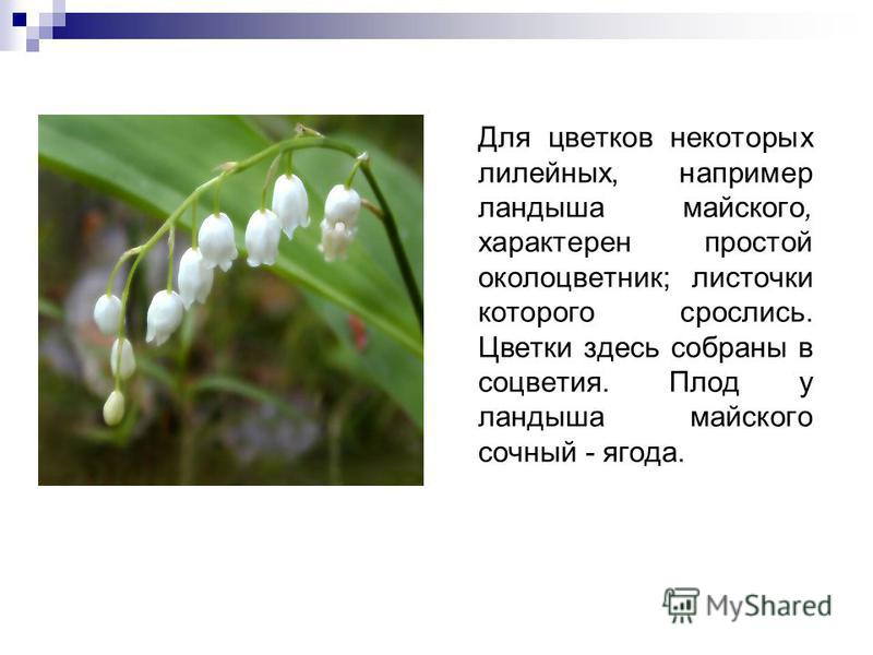 Для цветков некоторых лилейных, например ландыша майского, характерен простой околоцветник; листочки которого срослись. Цветки здесь собраны в соцветия. Плод у ландыша майского сочный - ягода.