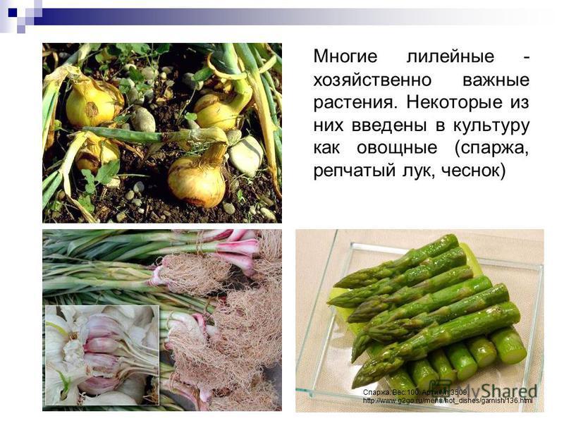 Многие лилейные - хозяйственно важные растения. Некоторые из них введены в культуру как овощные (спаржа, репчатый лук, чеснок) Спаржа. Вес:100. Артикул:3509. http://www.g2go.ru/menu/hot_dishes/garnish/136.html