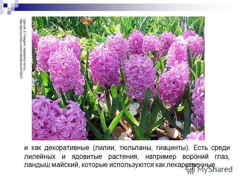 и как декоративные (лилии, тюльпаны, гиацинты). Есть среди лилейных и ядовитые растения, например вороний глаз, ландыш майский, которые используются как лекарственные. Цветок. 8. Гиацинт. назвали в честь... http://gidroponika.com/content/view/630/67/