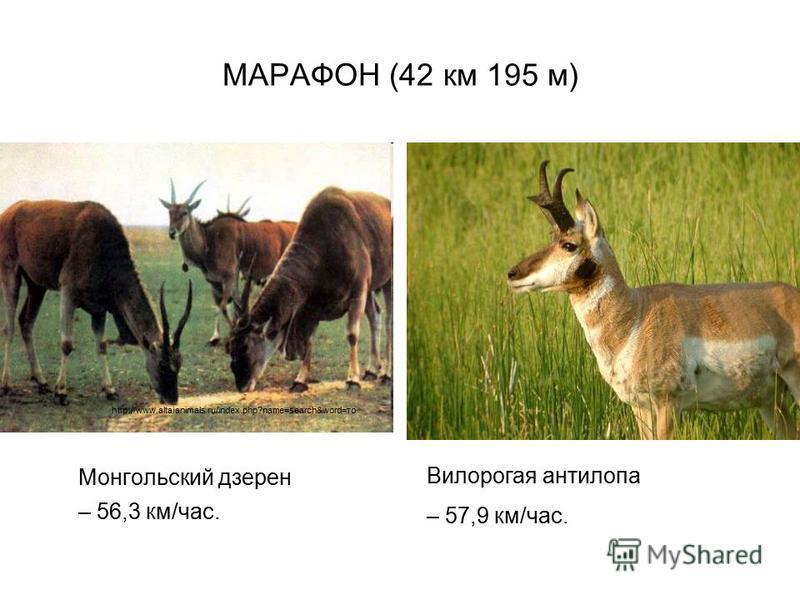 МАРАФОН (42 км 195 м) Монгольский дзерен – 56,3 км/час. http://www.altaianimals.ru/index.php?name=search&word=то Вилорогая антилопа – 57,9 км/час.