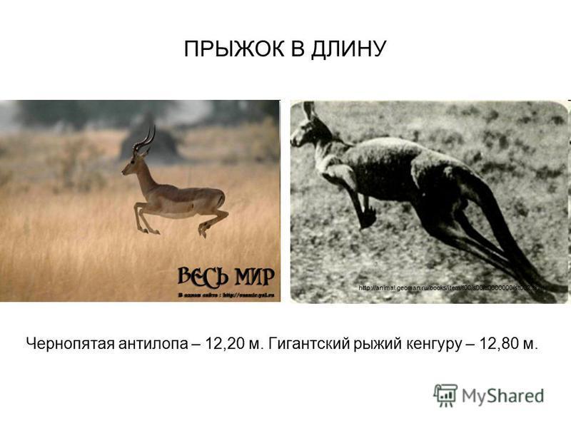 ПРЫЖОК В ДЛИНУ Чернопятая антилопа – 12,20 м. Гигантский рыжий кенгуру – 12,80 м. http://animal.geoman.ru/books/item/f00/s00/z0000000/st002.shtml