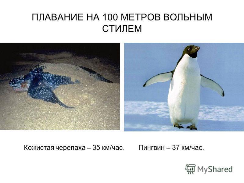 ПЛАВАНИЕ НА 100 МЕТРОВ ВОЛЬНЫМ СТИЛЕМ Кожистая черепаха – 35 км/час. Пингвин – 37 км/час.