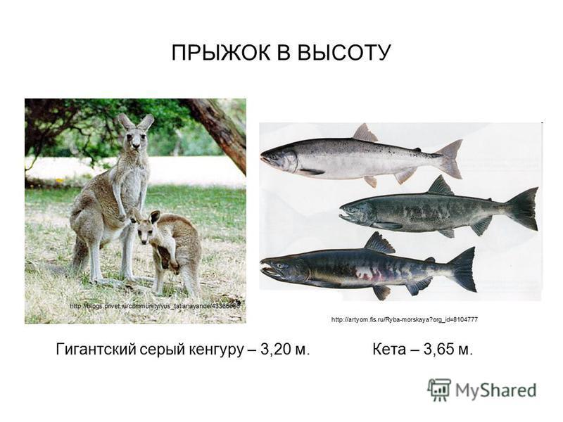ПРЫЖОК В ВЫСОТУ Гигантский серый кенгуру – 3,20 м. Кета – 3,65 м. http://blogs.privet.ru/community/yus_tatianayande/43365066 http://artyom.fis.ru/Ryba-morskaya?org_id=8104777