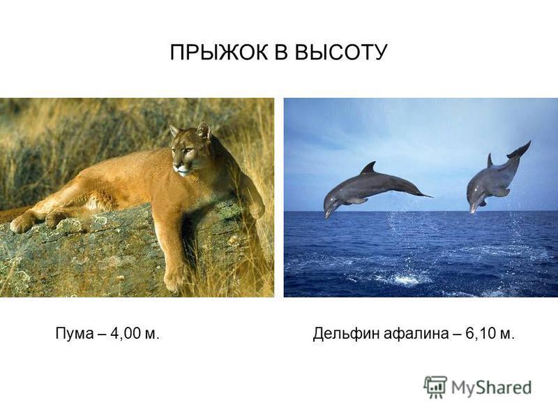 ПРЫЖОК В ВЫСОТУ Пума – 4,00 м. Дельфин афалина – 6,10 м.