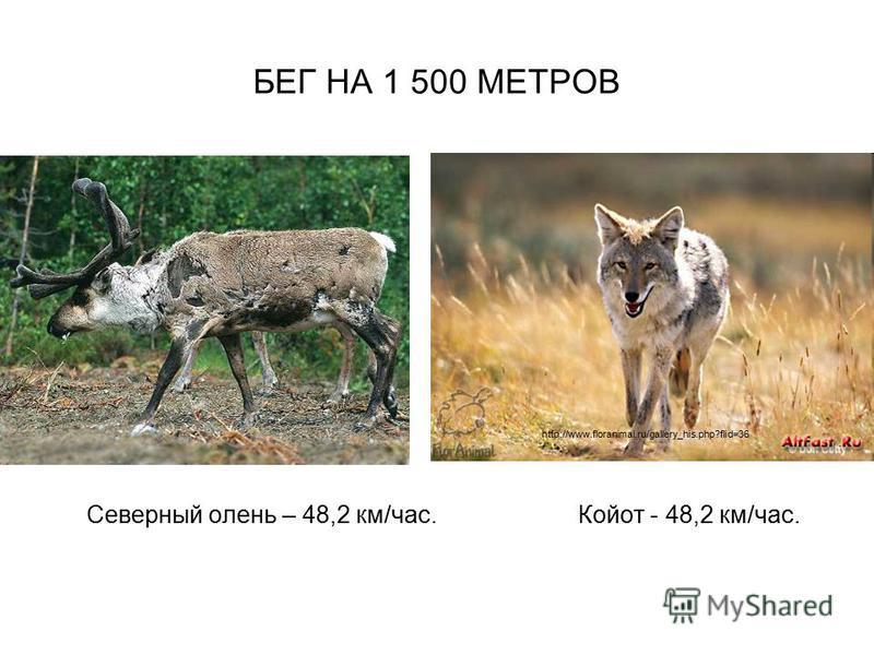 БЕГ НА 1 500 МЕТРОВ Северный олень – 48,2 км/час. Койот - 48,2 км/час. http://www.floranimal.ru/gallery_his.php?flid=36