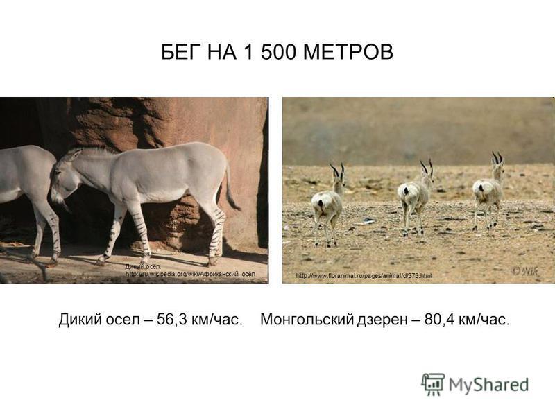 БЕГ НА 1 500 МЕТРОВ Дикий осел – 56,3 км/час. Монгольский дзерен – 80,4 км/час. Дикий осёл. http://ru.wikipedia.org/wiki/Африканский_осёл http://www.floranimal.ru/pages/animal/d/373.html