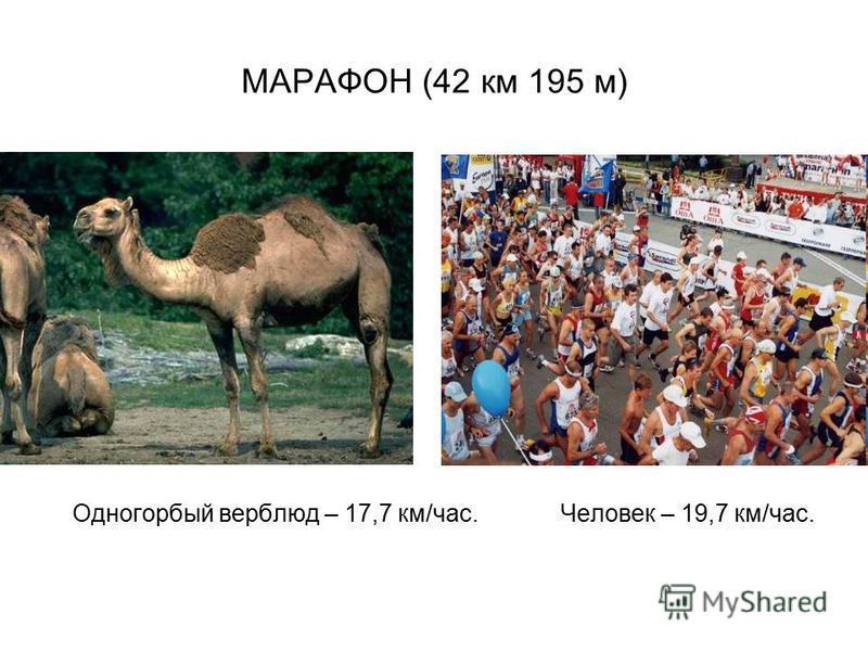 МАРАФОН (42 км 195 м) Одногорбый верблюд – 17,7 км/час. Человек – 19,7 км/час.