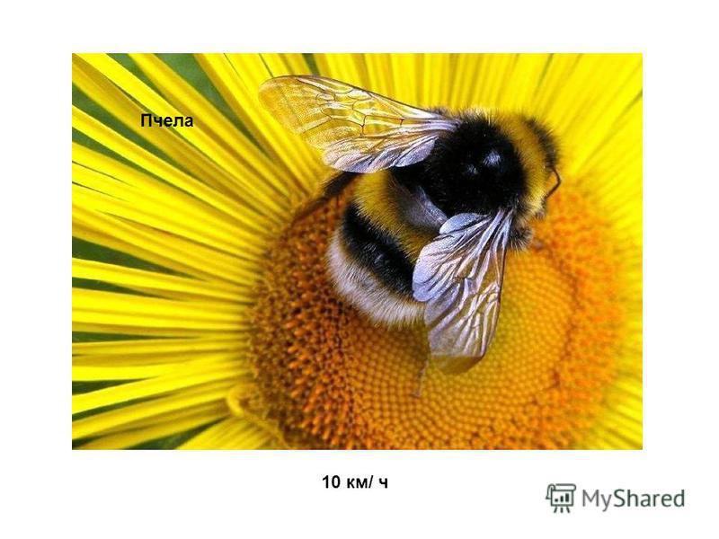 10 км/ ч Пчела