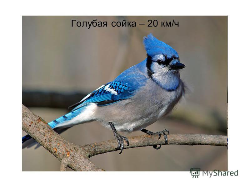 Голубая сойка – 20 км/ч
