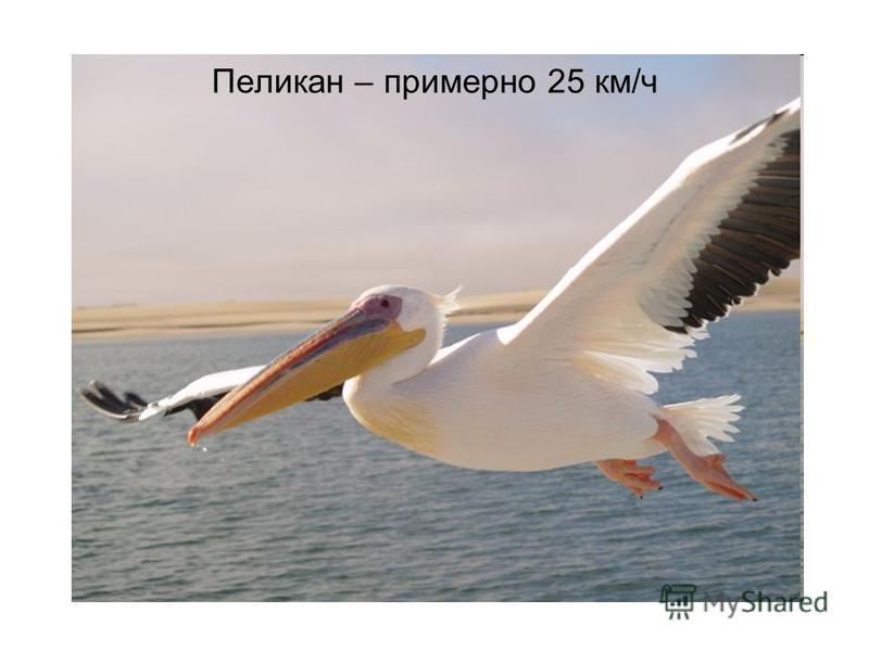 Пеликан – примерно 25 км/ч