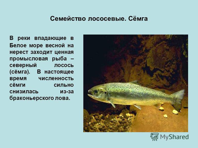 Семейство лососевые. Сёмга В реки впадающие в Белое море весной на нерест заходит ценная промысловая рыба – северный лосось (сёмга). В настоящее время численность сёмги сильно снизилась из-за браконьерского лова.