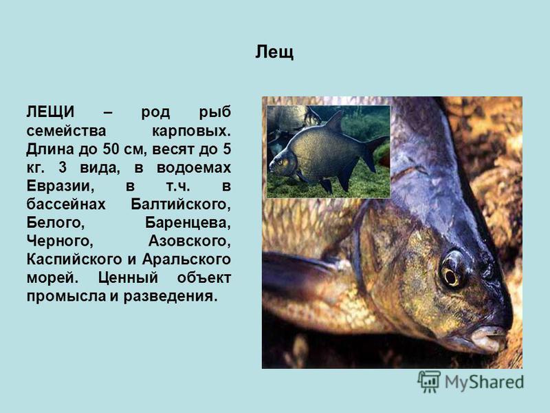 Лещ ЛЕЩИ – род рыб семейства карповых. Длина до 50 см, весят до 5 кг. 3 вида, в водоемах Евразии, в т.ч. в бассейнах Балтийского, Белого, Баренцева, Черного, Азовского, Каспийского и Аральского морей. Ценный объект промысла и разведения.