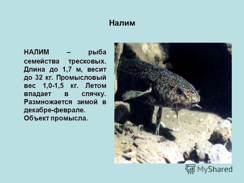 Налим НАЛИМ – рыба семейства тресковых. Длина до 1,7 м, весит до 32 кг. Промысловый вес 1,0-1,5 кг. Летом впадает в спячку. Размножается зимой в декабре-феврале. Объект промысла.