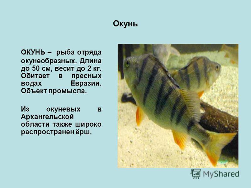 Окунь ОКУНЬ – рыба отряда окунеобразных. Длина до 50 см, весит до 2 кг. Обитает в пресных водах Евразии. Объект промысла. Из окуневых в Архангельской области также широко распространен ёрш.