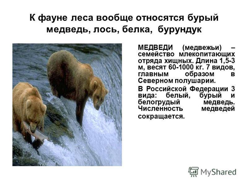 К фауне леса вообще относятся бурый медведь, лось, белка, бурундук МЕДВЕДИ (медвежьи) – семейство млекопитающих отряда хищных. Длина 1,5-3 м, весят 60-1000 кг. 7 видов, главным образом в Северном полушарии. В Российской Федерации 3 вида: белый, бурый