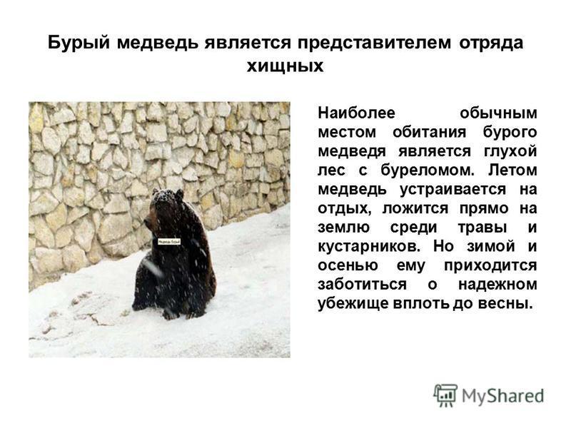 Бурый медведь является представителем отряда хищных Наиболее обычным местом обитания бурого медведя является глухой лес с буреломом. Летом медведь устраивается на отдых, ложится прямо на землю среди травы и кустарников. Но зимой и осенью ему приходит