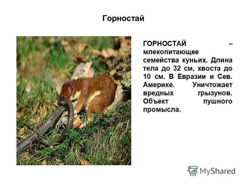 Горностай ГОРНОСТАЙ – млекопитающее семейства куньих. Длина тела до 32 см, хвоста до 10 см. В Евразии и Сев. Америке. Уничтожает вредных грызунов. Объект пушного промысла.