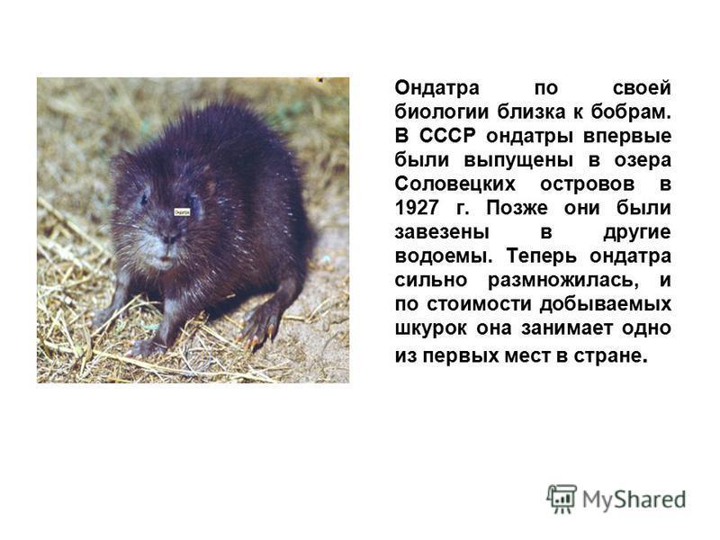 Ондатра по своей биологии близка к бобрам. В СССР ондатры впервые были выпущены в озера Соловецких островов в 1927 г. Позже они были завезены в другие водоемы. Теперь ондатра сильно размножилась, и по стоимости добываемых шкурок она занимает одно из