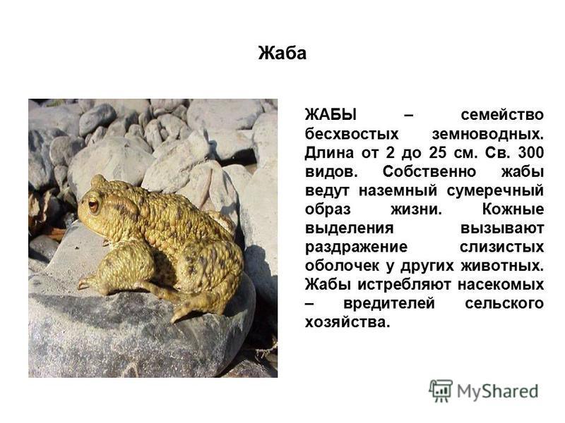 Жаба ЖАБЫ – семейство бесхвостых земноводных. Длина от 2 до 25 см. Св. 300 видов. Собственно жабы ведут наземный сумеречный образ жизни. Кожные выделения вызывают раздражение слизистых оболочек у других животных. Жабы истребляют насекомых – вредителе