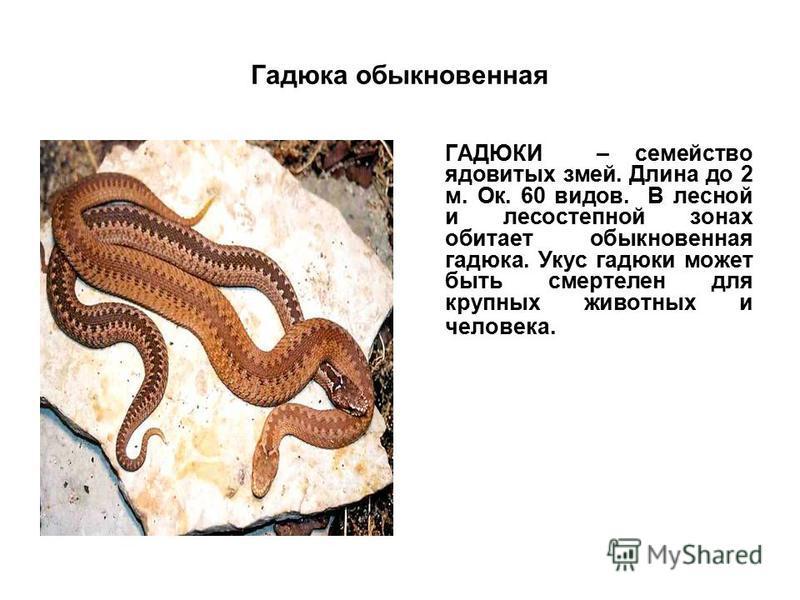 Гадюка обыкновенная ГАДЮКИ – семейство ядовитых змей. Длина до 2 м. Ок. 60 видов. В лесной и лесостепной зонах обитает обыкновенная гадюка. Укус гадюки может быть смертелен для крупных животных и человека.