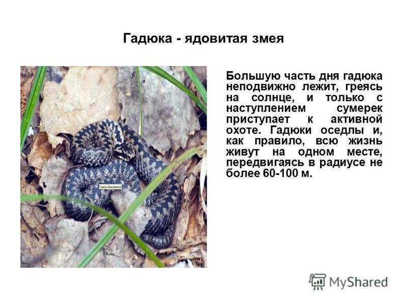 Гадюка - ядовитая змея Большую часть дня гадюка неподвижно лежит, греясь на солнце, и только с наступлением сумерек приступает к активной охоте. Гадюки оседлы и, как правило, всю жизнь живут на одном месте, передвигаясь в радиусе не более 60-100 м.