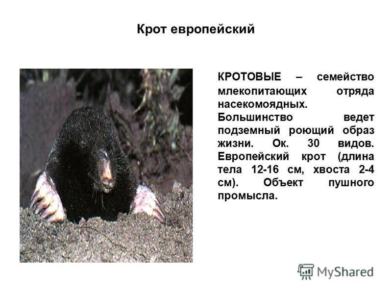 Крот европейский КРОТОВЫЕ – семейство млекопитающих отряда насекомоядных. Большинство ведет подземный роющий образ жизни. Ок. 30 видов. Европейский крот (длина тела 12-16 см, хвоста 2-4 см). Объект пушного промысла.